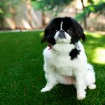 Oceanside Pet Turf Installation, Artificial Pet Turf Company